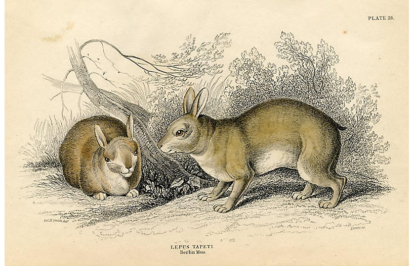 1830s British Engraving of Rabbits