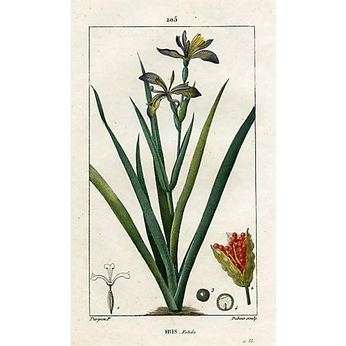 Coral Iris by Pierre Turpin, 1818