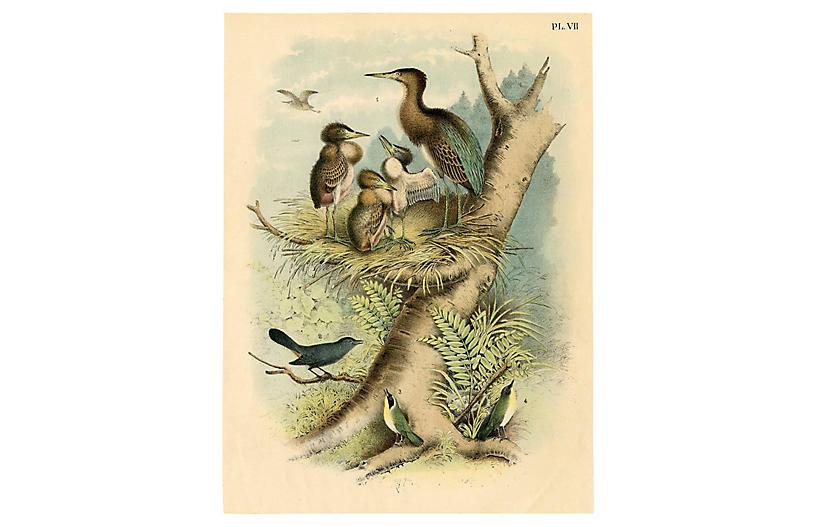 Green Heron Lithograph, 1878