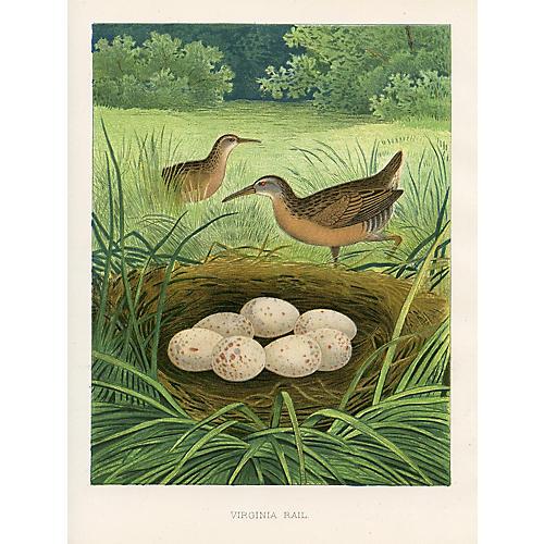 Virginia Rail, Nest & Eggs, 1878