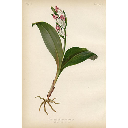 North American Orchid, 1878