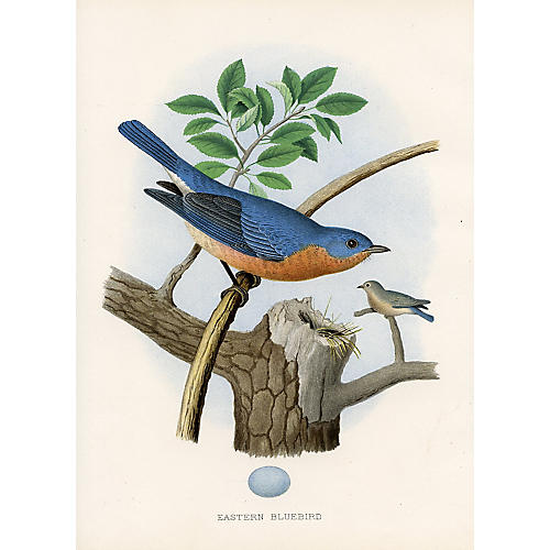 Eastern Bluebird Nest & Egg, 1878