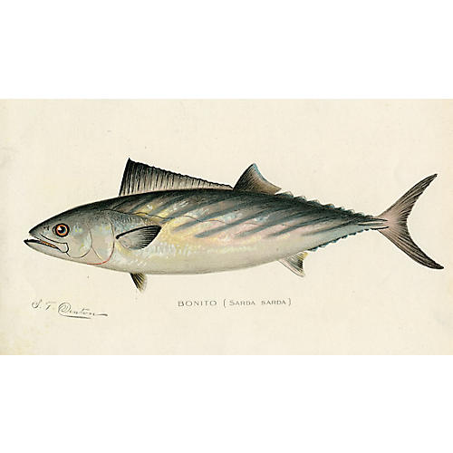 The Bonito by Sherman Denton, 1900