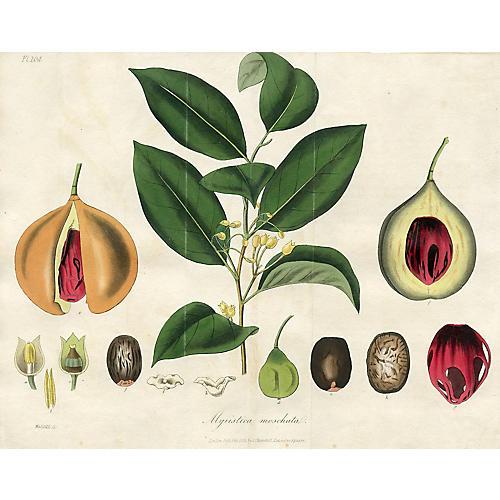 Aromatic Nutmeg Tree, 1829