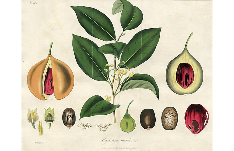 Aromatic Nutmeg Tree, 1829