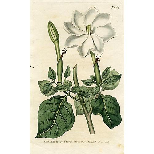 White Gardenia, 1807