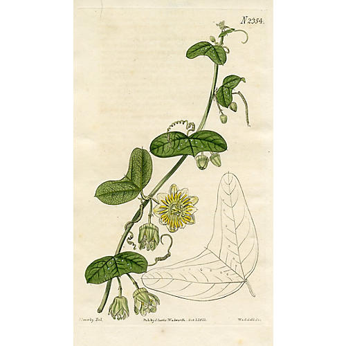 Crescent-leaved Passionflower, 1822