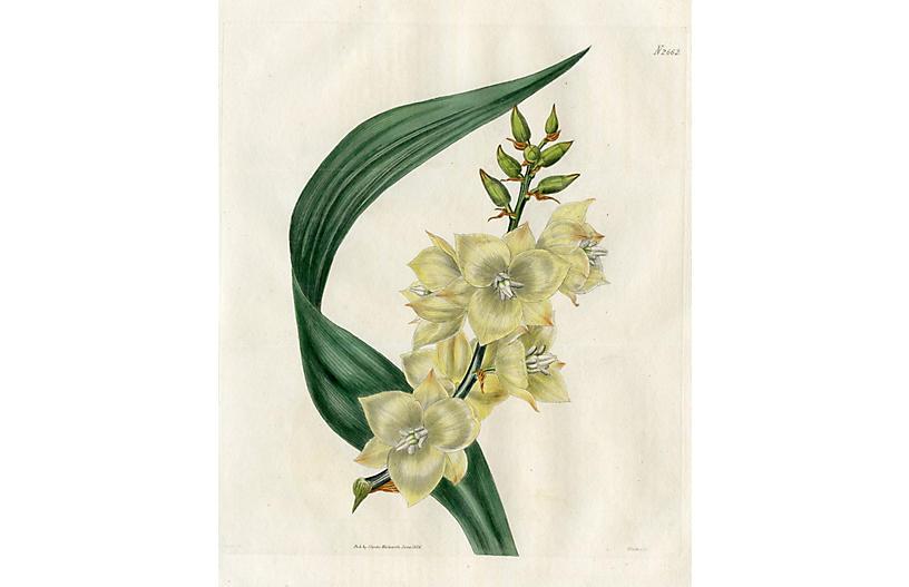 Carolina Yucca, 1826