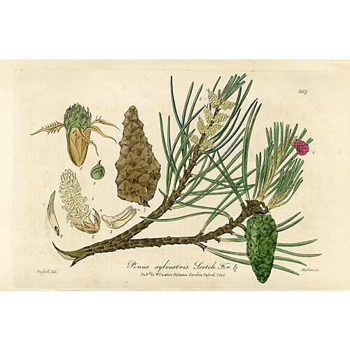 Scotch Fir, 1840 Engraving