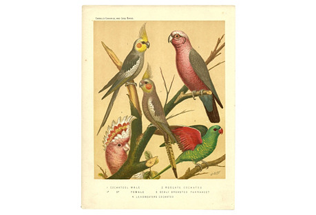 Cockateel, Cockatoo & Parakeet