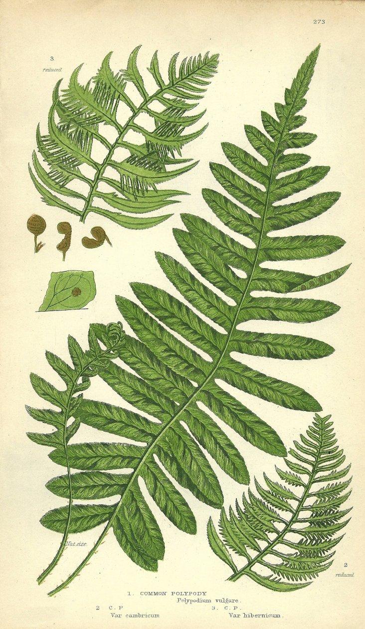 Polypodium Vulgare, 1867