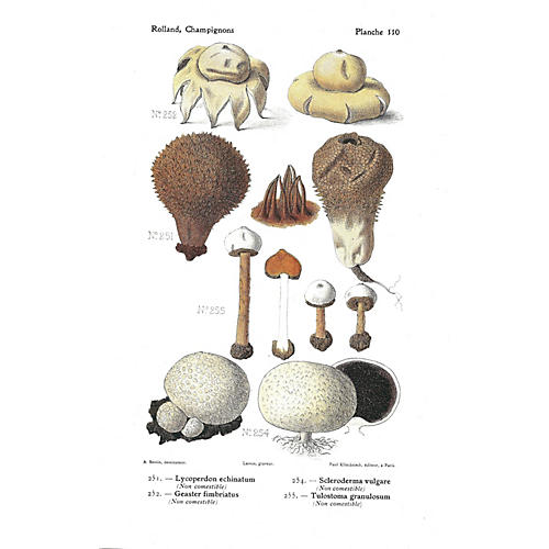 Lycoperdon Echinatum & Others