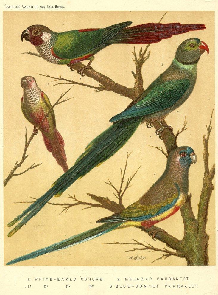Conures & Parakeets