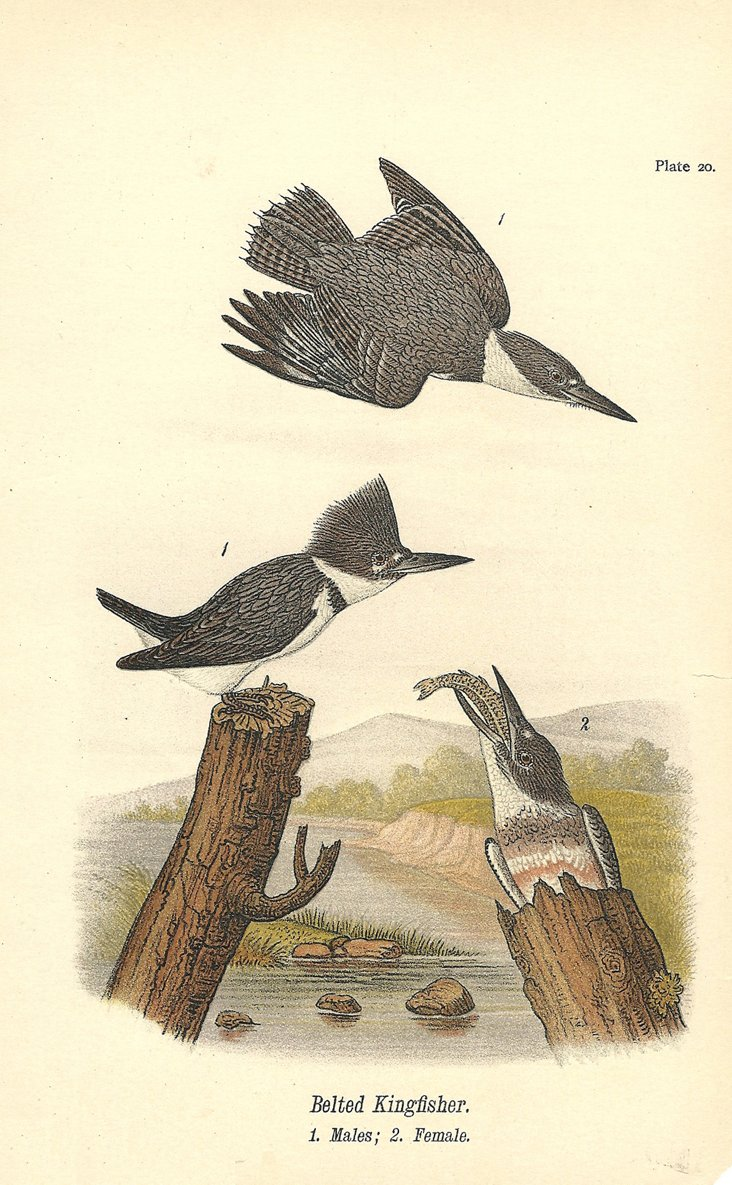 Two Belted Kingfishers