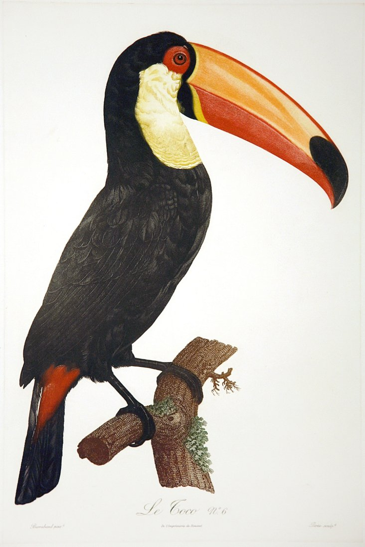 Exotic Toucan with Orange Bill