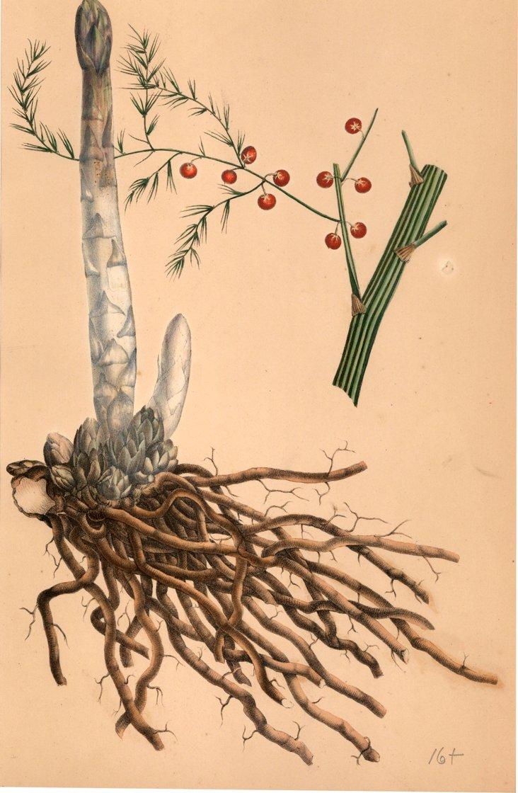 Asparagus Officinatalis (Linneus)