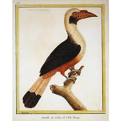 Female Hornbill