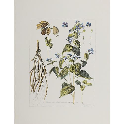 Lunaria Majer & Siliqua Rotundiere