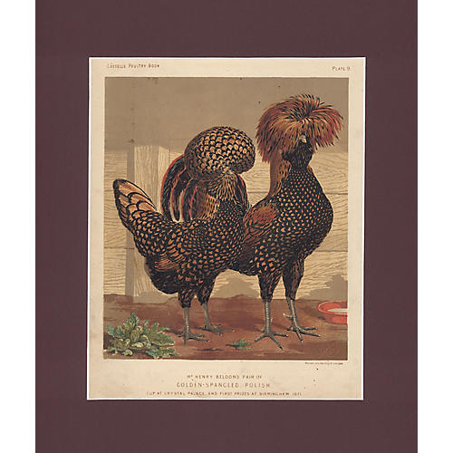 Golden Spangled Polish Chickens