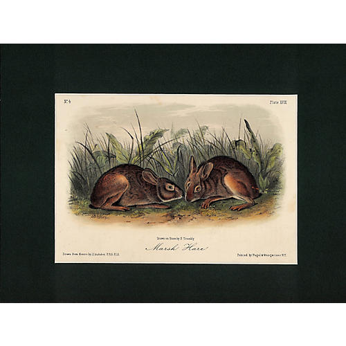 March Hare by Audubon