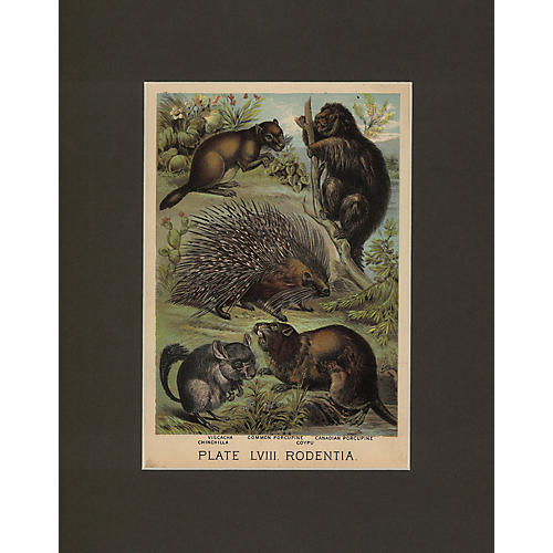 Porcupines & Rodents Print