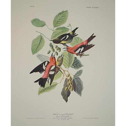 Crossbill by Audubon