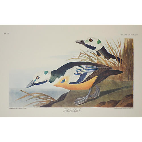 Western Duck by Audubon