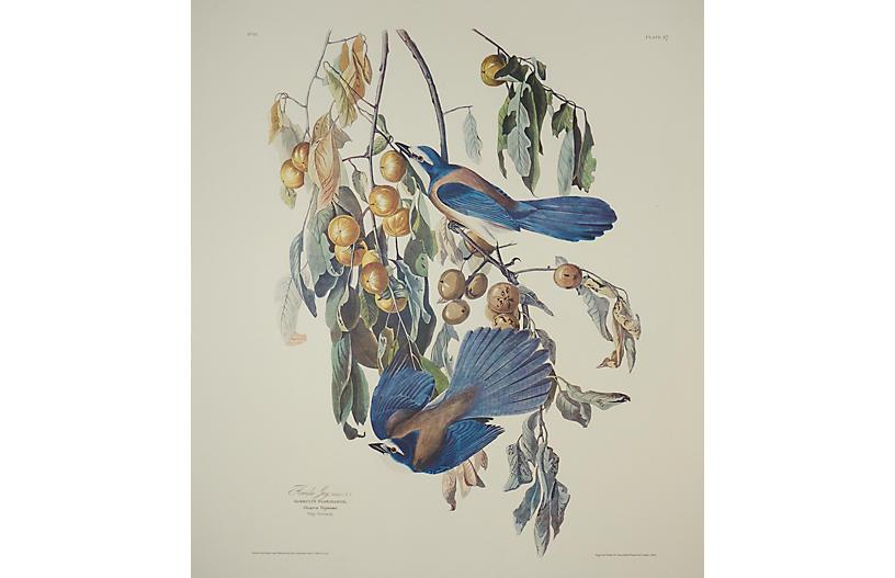 Florida Jay by Audubon