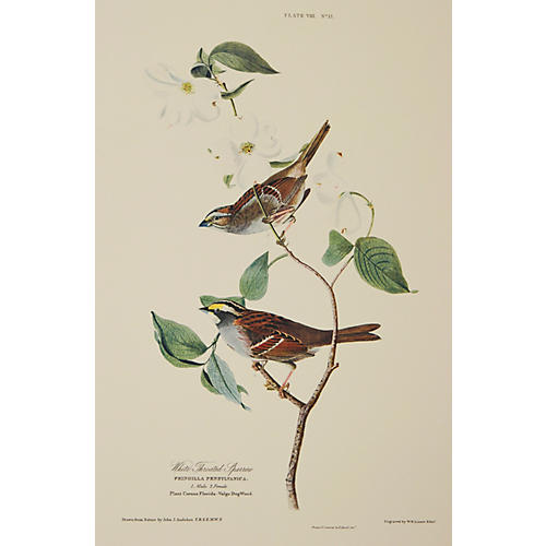 White-Throated Sparrow by J. Audubon