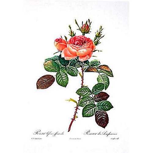 Rosa Bifera Officinalis