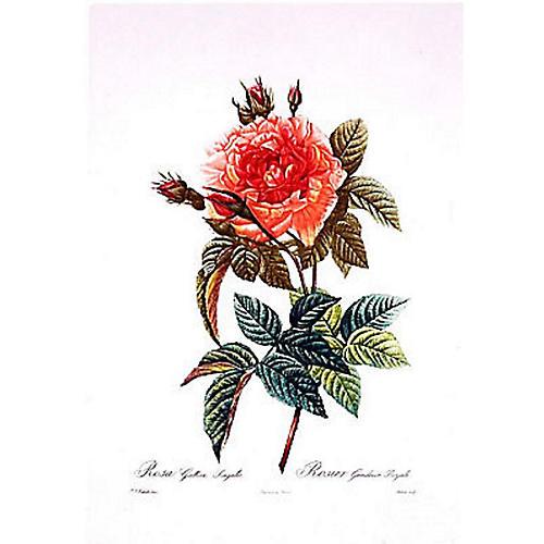 Rosa Gallica Regalis