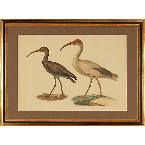 Framed Black Ibis & Sacred Ibis