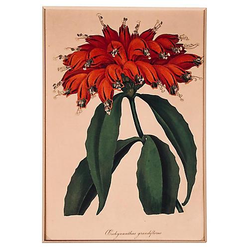 Aeschynanthus Grandiflorus